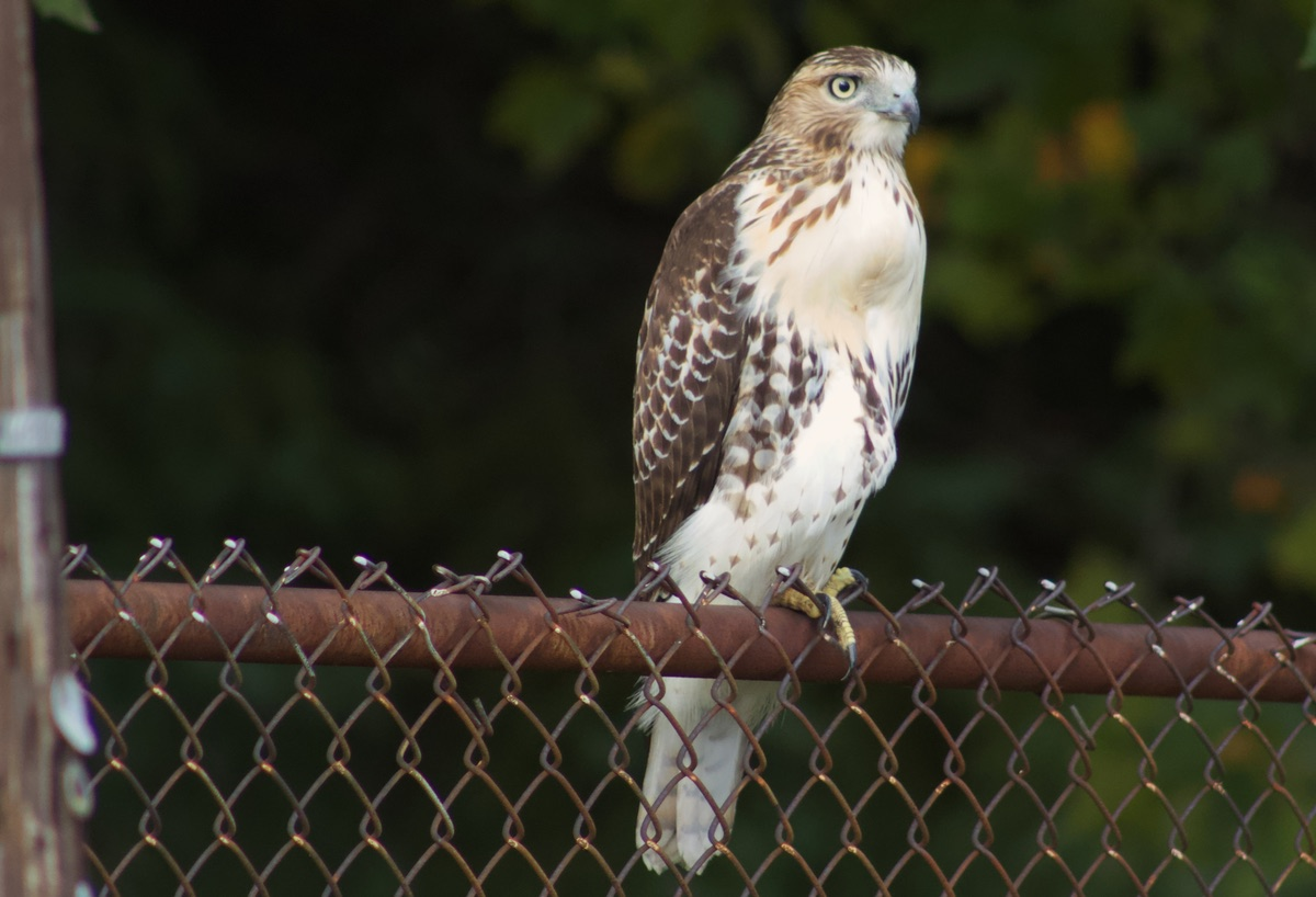 young raptor, sitting on a fence